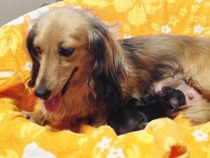 カニンヘンのクレアが6/30出産しました シェーデットクリーム 男の子1 、ブラッククリーム女の子1