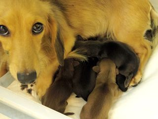 カニンヘンのソルトが9月11日出産しました。男の子1頭 女の子4頭