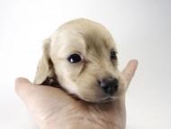 ローラmiと武蔵の子犬 クリーム男の子