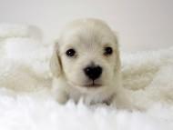 シェリーとクッキーの子犬 ピュアクリーム男の子 お写真初登場です♪
