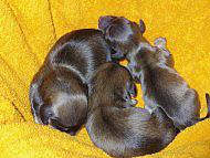 カニンヘンのアンジュが6月15日出産しました。シェーデットクリーム男の子3頭