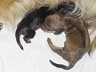 カニンヘンのユジンが6月26日出産しました。  シェーデットクリーム男の子とカラー観察中の女の子