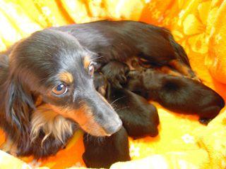 リリィ  カニンヘンダックス 女の子 ブラック&タン 3kg