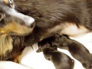 カニンヘン ダックスフンドのリリィが10月6日出産
