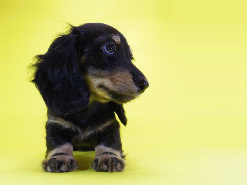 ダックスフンド カニンヘン ティアラ & オスカルの子犬 ブラッククリーム 男の子