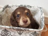 ビビ & 朝日の子犬 チョコクリーム 男の子