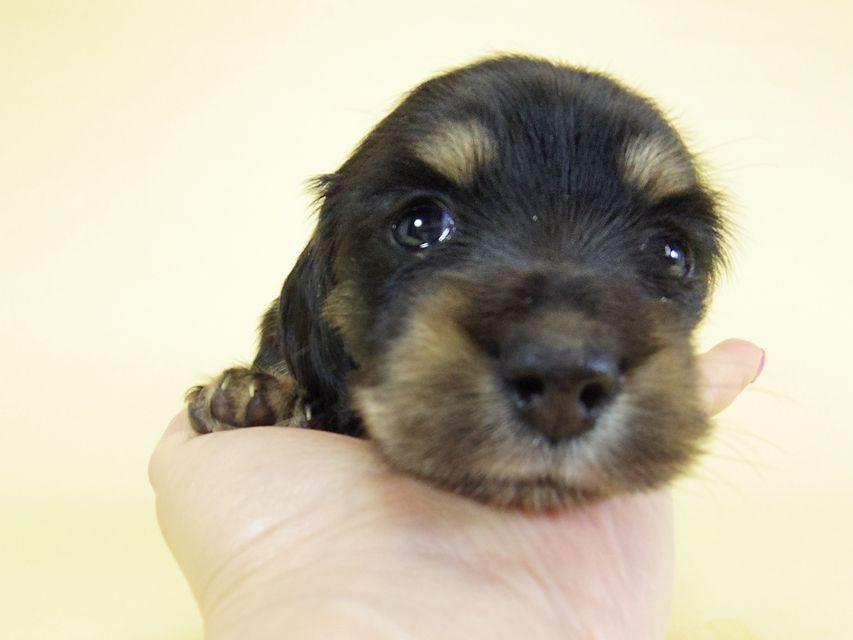 ティンク.hb & 武蔵の子犬 ブラッククリーム 女の子 お写真初登場