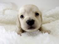 シェリーとクッキーの子犬 ピュアクリーム男の子2 お写真初登場です♪
