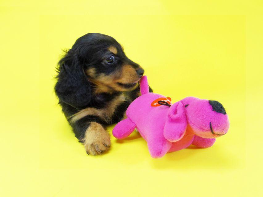 ダックスフンド コラム & 武蔵の子犬 ブラックタン 女の子