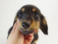 ルヒィ & オスカルの子犬 ブラックタン 男の子