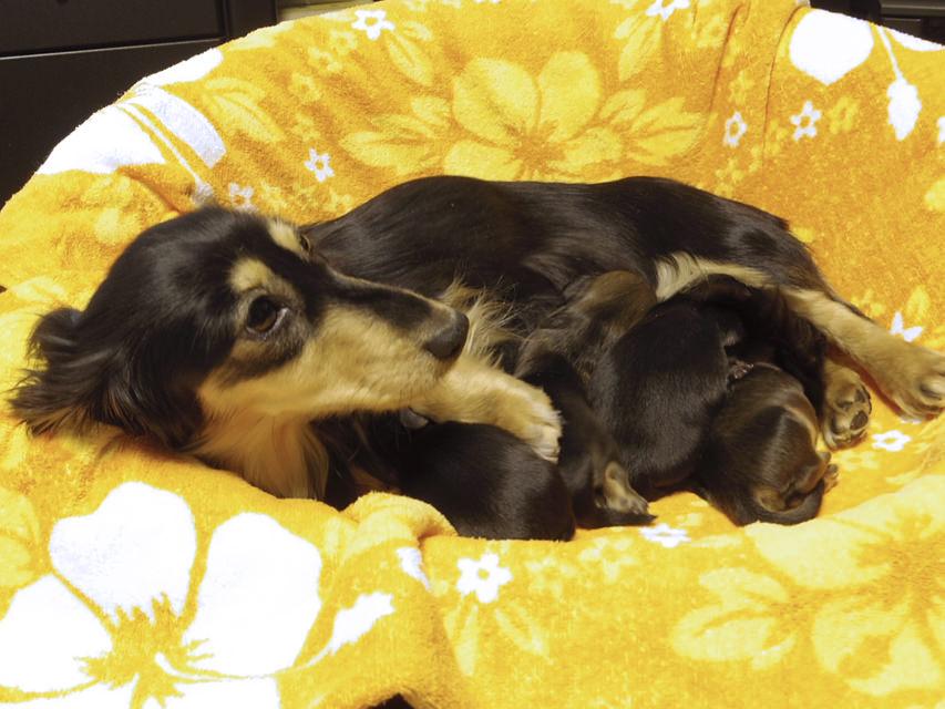 カニンヘンの楓が出産しました ブラクリ2、シェーデットクリーム2