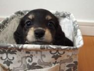 ビビ & 朝日の子犬 ブラッククリーム 女の子