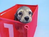 マンドレ & ジムダンディの子犬 シェーデットクリーム 女の子
