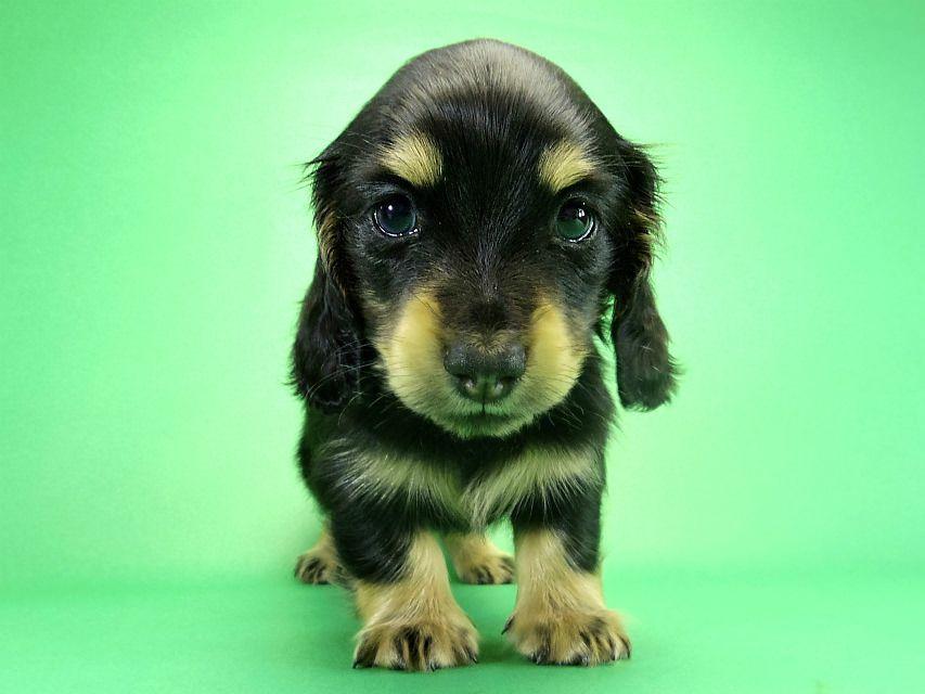 カニヘンダックス あんずの子犬 ブラック&クリーム男の子