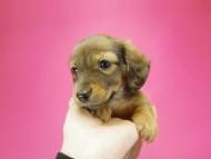 ダックスフンド いちご & ジャンクレールダンディの子犬 シェーデットレッド 男の子