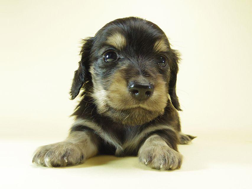 ダックスフンド あんず & クッキーの子犬 ブラッククリーム 男の子