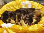 カニンヘンのハナビが7/17出産しました ブラック&クリーム女の子、シェーデットクリーム女の子