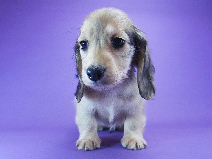 ミニチュアダックス シャーディー & オスカルの子犬 シェーデットクリーム 男の子