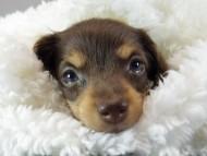 ピノ & アレックスの子犬 チョコタン 女の子②