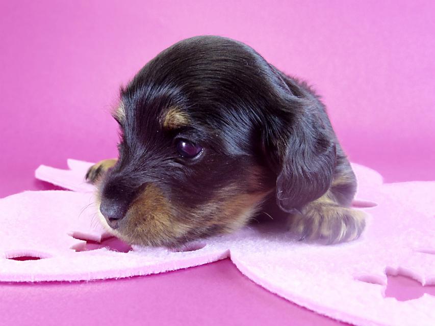 カニヘンダックス 子犬 ブラックタン女の子