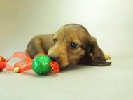 ダックスフンド クレア & ジムダンディの子犬 10月7日生まれ シェーデットレッド 男の子