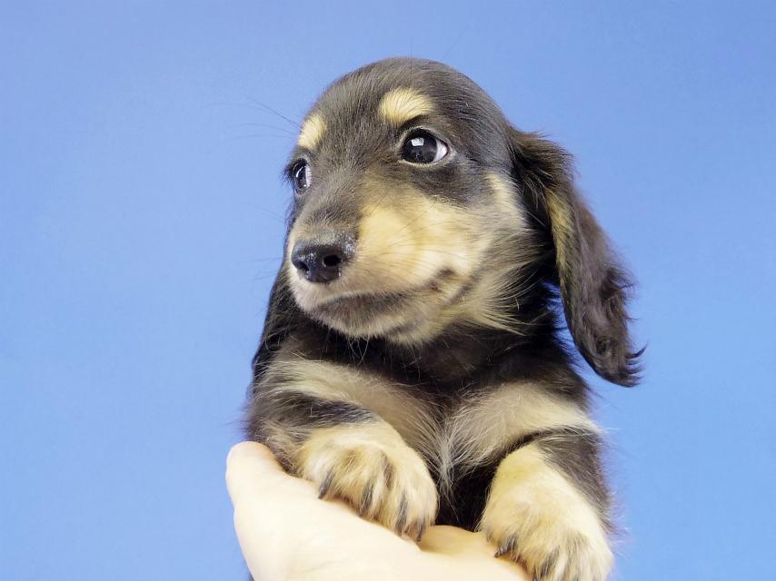 カニヘン 子犬 ブラクリ男の子