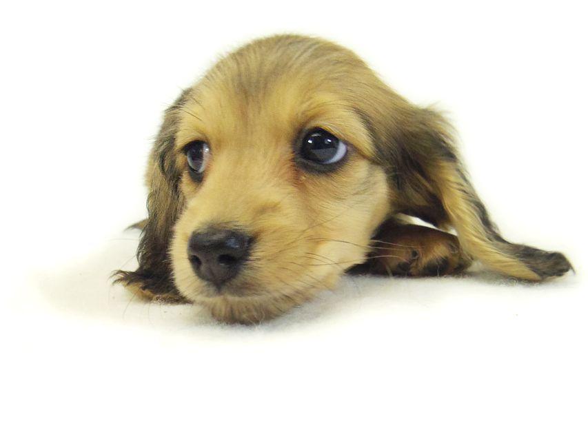 なると & オスカルの子犬 シェーデットクリーム 女の子
