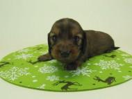 ミニチュアダックス リールー & ジムダンディの子犬 10月28日生まれ シェーデットレッド 男の子