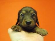 ダックスフンド ルヒィ & ジムダンディの子犬  レッド 男の子