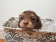 ビビ & 朝日の子犬 チョコクリーム 女の子②