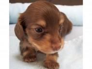 ビビ & 朝日の子犬 チョコクリーム 女の子② お写真初登場