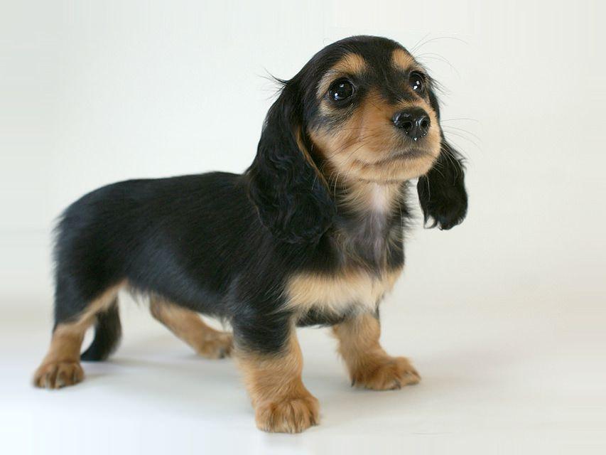 小梅の子犬 カニヘン・ブラックタン女の子 1月19日生まれ  スイス連邦ジュネーヴ YS様