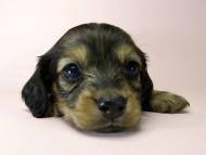 チェルシーとジムの子犬 シェーデットレッド女の子2