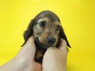 ルヒィ & ジムダンディの子犬 レッド 男の子