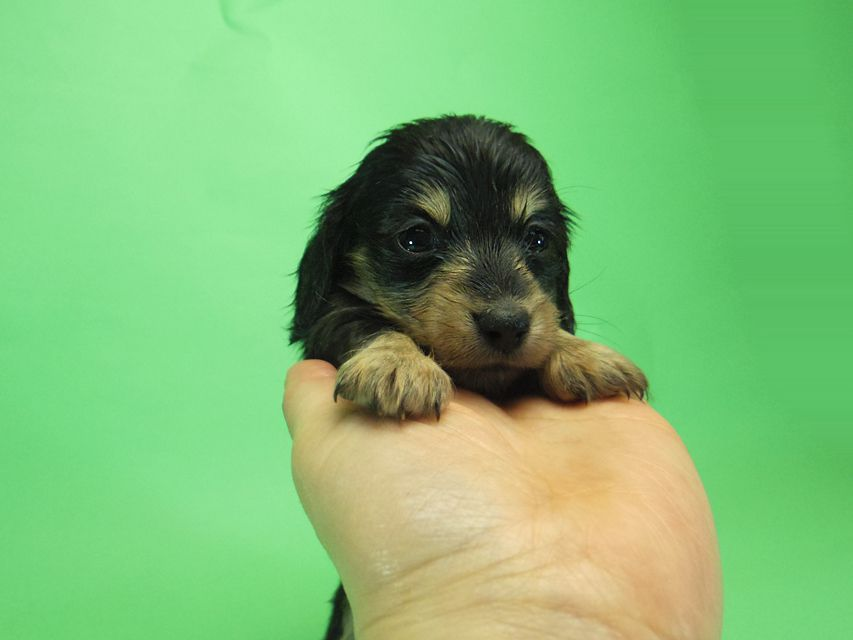 ダックスフンド カニンヘン SHELLY.mi & オスカルの子犬 ブラッククリーム 女の子