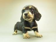 ダックスフンド クレア & ジムダンディの子犬 10月7日生まれ ブラッククリーム 女の子
