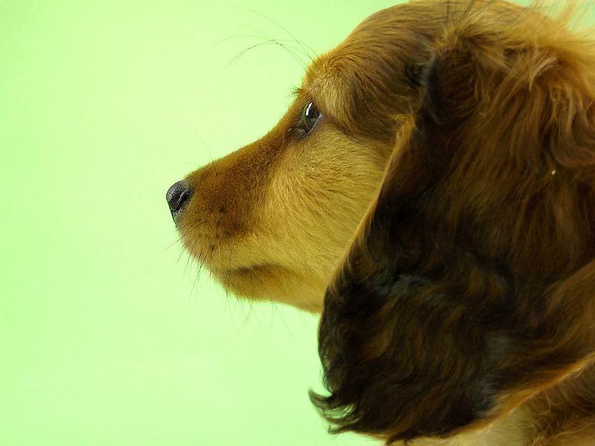 カニンヘン ダックスフンド トリスの子犬 シェーデットレッド男の子