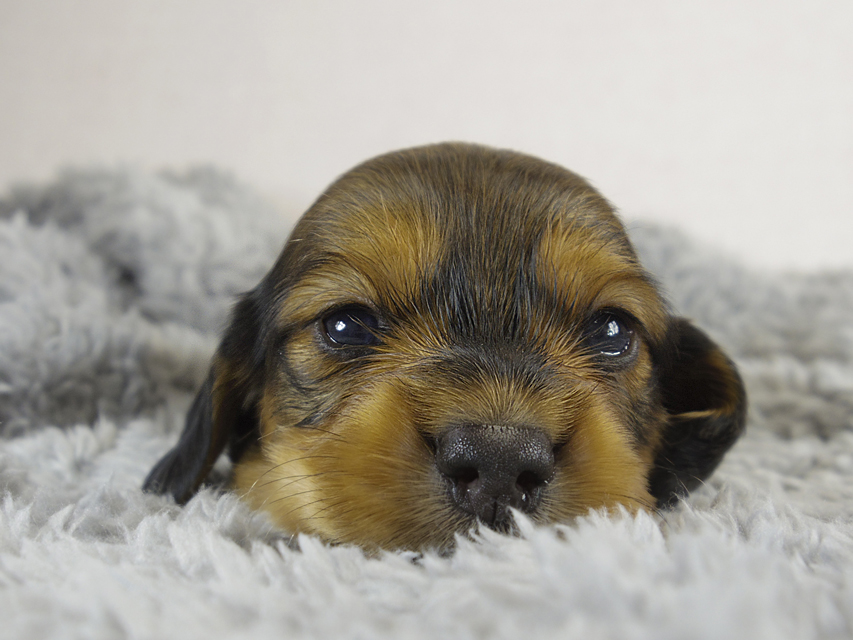 ミニチュアダックス 子犬 シェーデットレット男の子