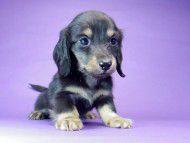 ソルト & MONKEY D. LUFFYの子犬 ブラッククリーム 男の子