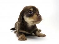 ローラmiと武蔵の子犬 チョコクリーム女の子