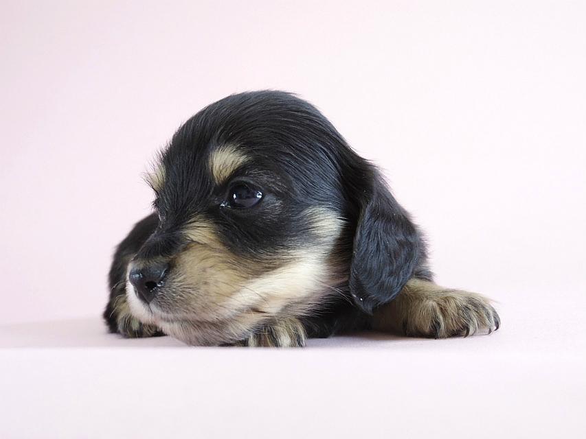 カニヘン 子犬 ブラクリ 男の子