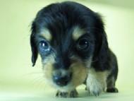 SHELLY.mi & オスカルの子犬 ブラッククリーム 男の子