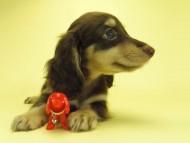黒豆 & アサヒの子犬 チョコクリ 女の子