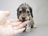 トリスとオスカルの子犬 シェーデットクリーム女の子