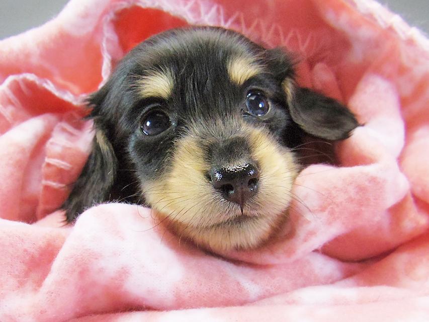 カニンヘン ダックスフンド 楓 & オスカルの子犬 ブラッククリーム 女の子