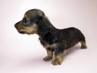 チェルシーとジムの子犬 シェーデットレッド女の子1