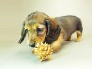 ダックスフンド クレア & ジムダンディの子犬 10月7日生まれ シェーデットレッド 女の子①
