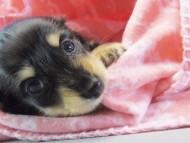 楓 & オスカルの子犬 ブラッククリーム 女の子②