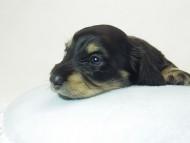 ティアラ & オスカルの子犬 ブラッククリーム 男の子 お写真初登場