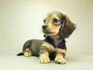 ダックスフンド クレア & ジムダンディの子犬 10月7日生まれ シェーデットレッド 女の子②